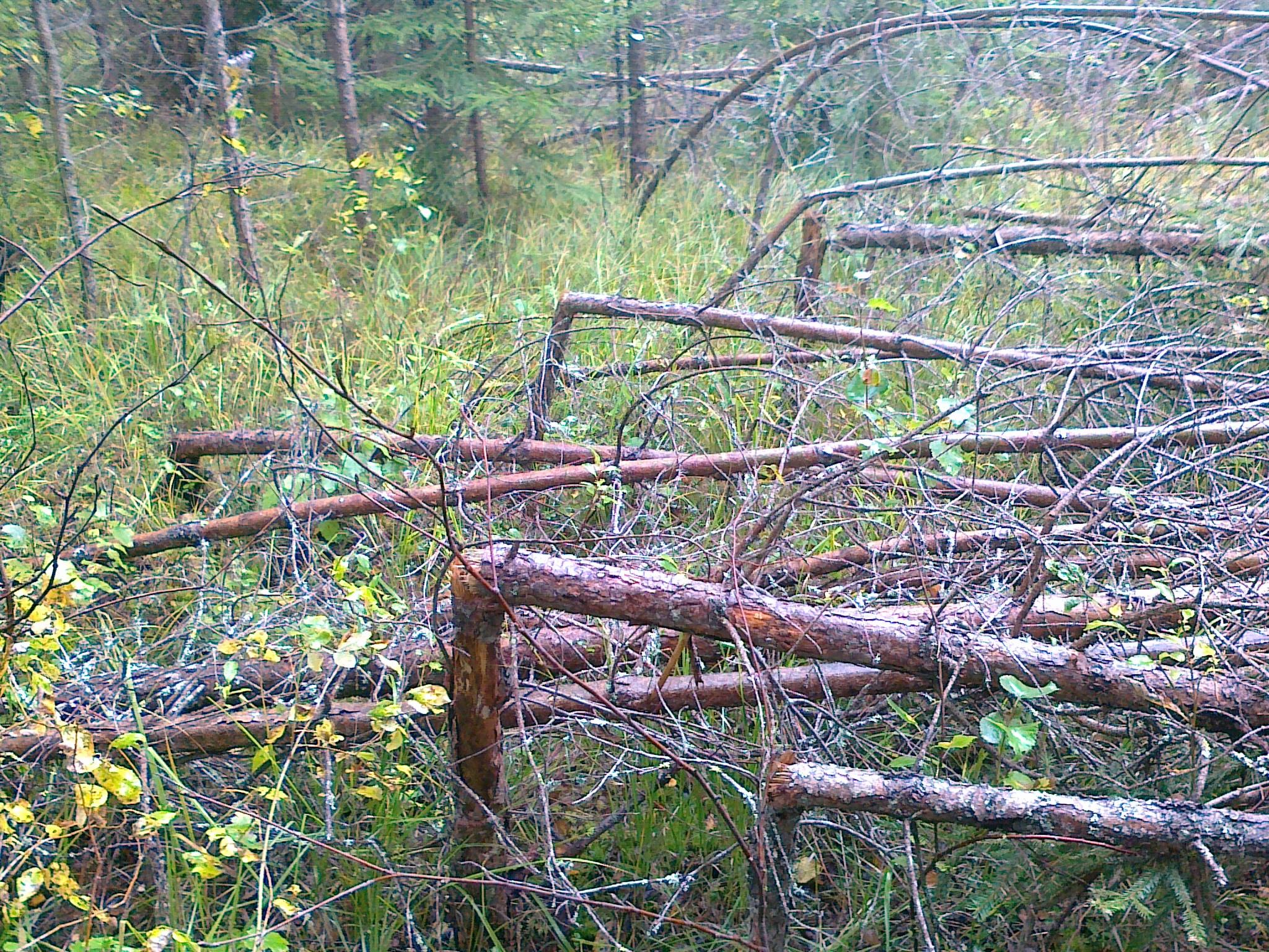 Взбесившийся лес у Чёртовой поляны. Локня.